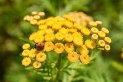 Ladybug en las flores amarillas Fotos de archivo libres de regalías
