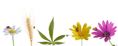 Ladybug en las varias flores hoja y trigo Foto de archivo