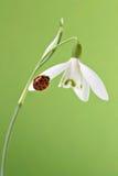 Ladybug en snowdrop Fotografía de archivo libre de regalías