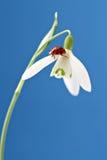 Ladybug en snowdrop Fotos de archivo