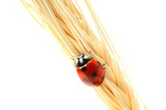 Ladybug en trigo Fotografía de archivo libre de regalías