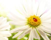 Ladybug en una flor Imagen de archivo
