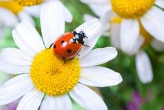 Ladybug en una flor Imágenes de archivo libres de regalías