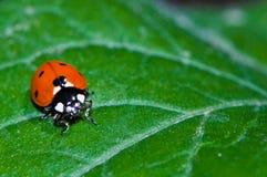 Ladybug en una hoja Imagen de archivo