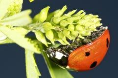 Ladybug en una hoja verde Foto de archivo