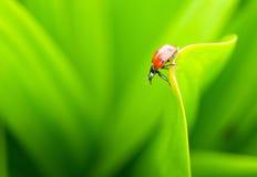 Ladybug en una hoja verde Fotografía de archivo
