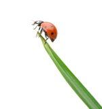 Ladybug en una lámina de la hierba verde imagen de archivo