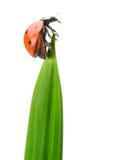 Ladybug en una lámina de la hierba verde foto de archivo