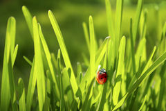 Ladybug in erba Fotografia Stock Libera da Diritti