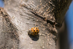 Ladybug Exploring. 85mm Macro shot of ladybug exploring side of a pear tree on a warm Spring morning royalty free stock photo