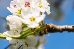 Ladybug Exploring. 85mm Macro shot of ladybug exploring tiny pear tree flowers stock photography