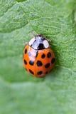 Ladybug extreme macro top shot Royalty Free Stock Photos