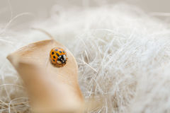 Ladybug on fallen beige leaf with dream background Stock Photography