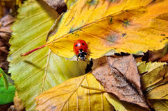 Ladybug on the fallen yellow leaves in the fall. Stock Photography