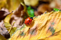 Ladybug on the fallen yellow leaves in the fall. Stock Images