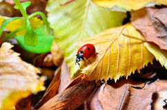 Ladybug on the fallen yellow leaves in the fall. Royalty Free Stock Photo