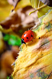 Ladybug on the fallen yellow leaves in the fall. Stock Photo