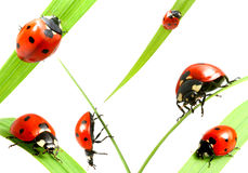 Free Ladybug Family Royalty Free Stock Photo - 5727085