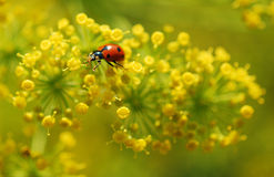 Ladybug in fannel Royalty Free Stock Image