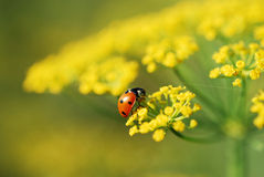 Ladybug in fannel Stock Images