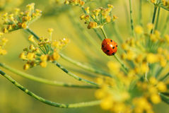 Ladybug in fannel Stock Photos