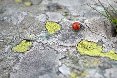Ladybug faring. Red Ladybug, Stone Mountain, a flea in height, a special ladybird, a beautiful ladybird Royalty Free Stock Photos