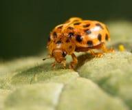 Ladybug feedin. An orange lady beetle feeding on a green leaf Royalty Free Stock Photography