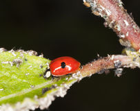 Ladybug feeding on aphids. Extreme close-up. Royalty Free Stock Photography