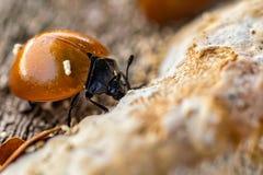 Free Ladybug Feeding On Fungus On Tree Trunk Macro Photography Royalty Free Stock Photos - 147334818