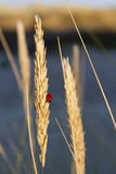 Ladybug in the field. Evening shot of a ladybug in the field Royalty Free Stock Photos