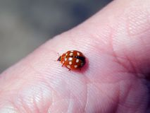 Ladybug on finger Stock Photography