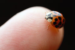 Ladybug on fingertip Royalty Free Stock Photo