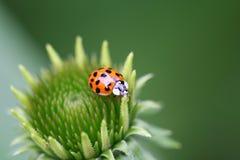 Ladybug in fiore Immagine Stock Libera da Diritti