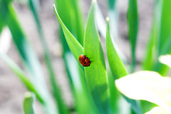 Ladybug. The first appearance of a ladybug on spring flowers in the sunshine stock photo
