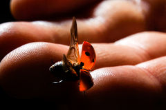 Ladybug Flies From the Fingers of a Young Child Royalty Free Stock Images