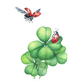 Ladybug in flight and sitting on a green four leaf clover. Hand drawn watercolor painting on white background Stock Images