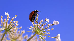 Ladybug on flower. Macro view of ladybug in white flower blossom with blue sky background Royalty Free Stock Photos