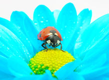 Ladybug on flower. The ladybug sits on a flower petal Royalty Free Stock Image