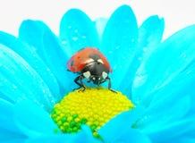 Ladybug on flower Royalty Free Stock Image