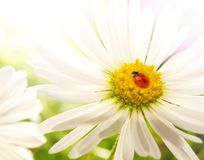 Ladybug on a flower Stock Image