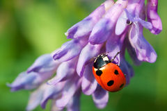 Ladybug on a flower Royalty Free Stock Photos