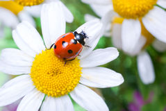 Ladybug on a flower Royalty Free Stock Images