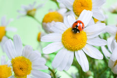 Ladybug on a flower Royalty Free Stock Photography