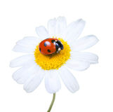 Ladybug on a flower Royalty Free Stock Image