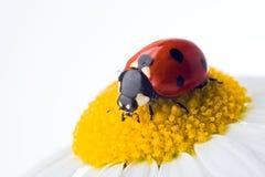 Ladybug on flower Stock Photography
