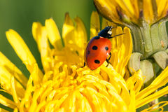 Ladybug on a flower Stock Photo