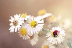 Ladybug and Flower. Beautiful daisy and red ladybug Royalty Free Stock Photo
