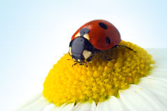 Ladybug on flower Royalty Free Stock Photography