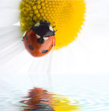 Ladybug on flower Royalty Free Stock Photo