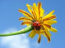 Ladybug on flower Royalty Free Stock Photos